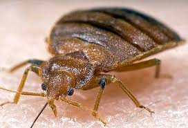 bed bugs in kitchener waterloo and cambridge