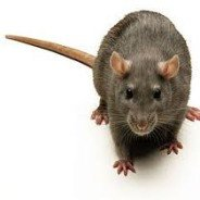 Rats, Mice and Rodent Control and Extermination