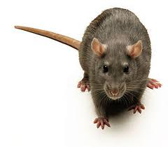rodent control in Kitchener Waterloo Cambridge